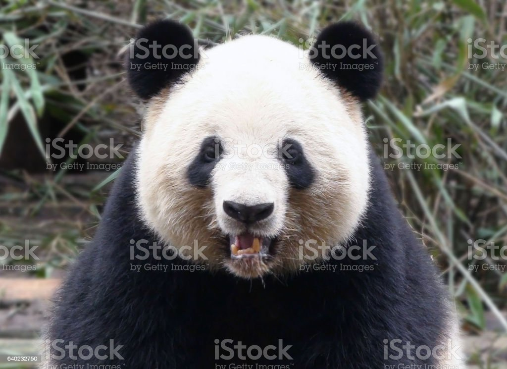 Chinese Giant Panda Bear Head Scenery In China stock photo