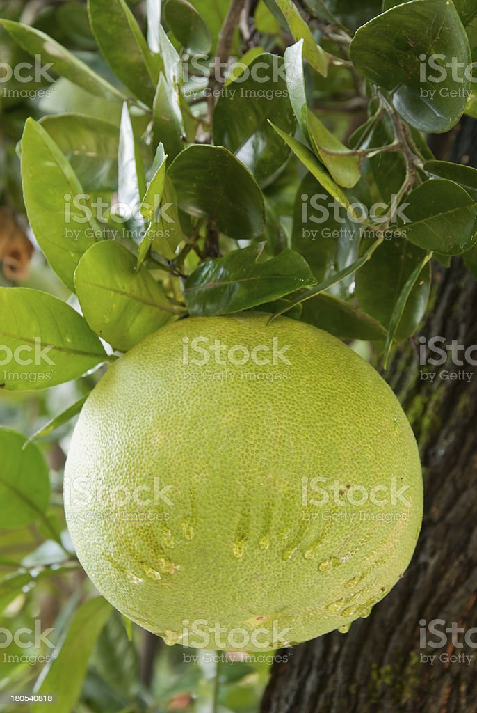 Chinese Grapefruit Called Pomelo stock photo
