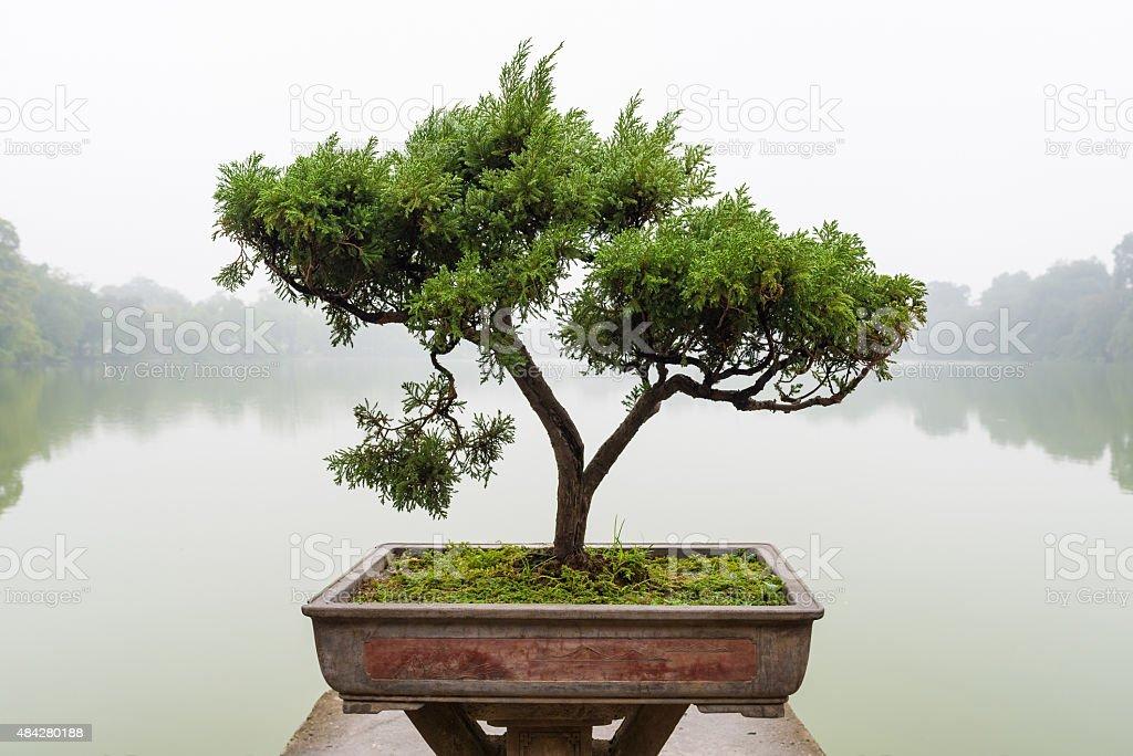 Chinese green bonsai tree stock photo