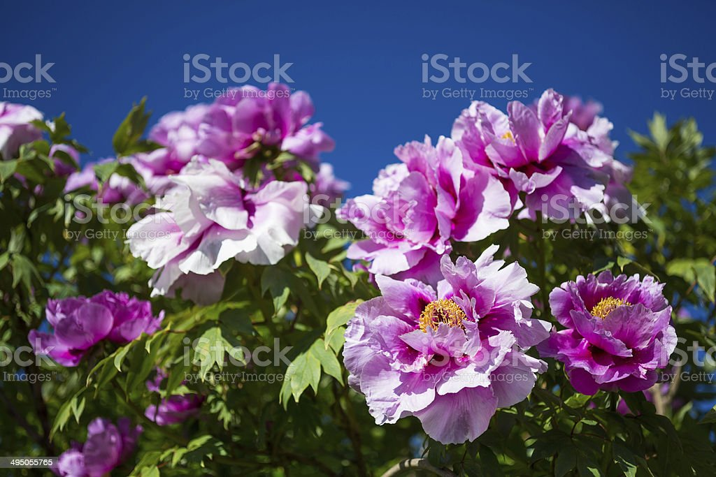 Chinese herbaceous peony royalty-free stock photo