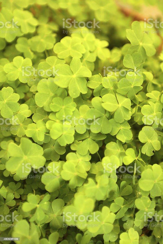 Chinese Herbal Medicine - Oxalis Corniculata L (O Repens Thunb) stock photo