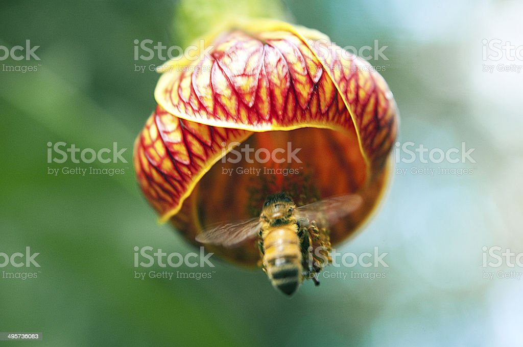 Chinese Lantern flower with bee stock photo