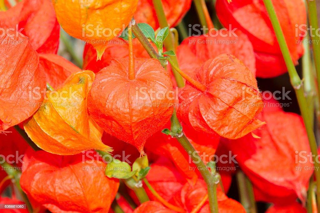 Chinese Lantern Flowers stock photo
