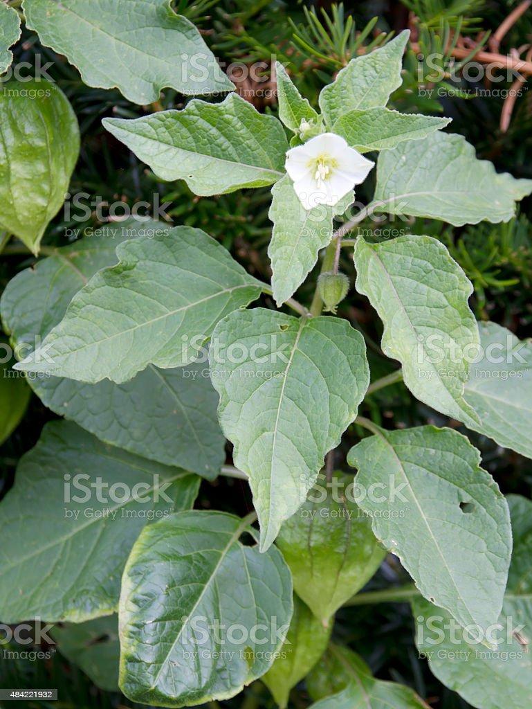 Chinese Lantern Lily (Physalis alkekengi) Flower stock photo