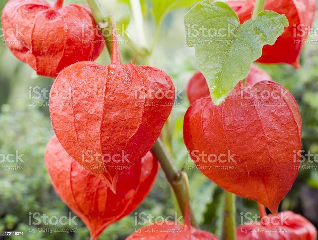 Chinese lantern Lily (Physalis alkekengi) stock photo