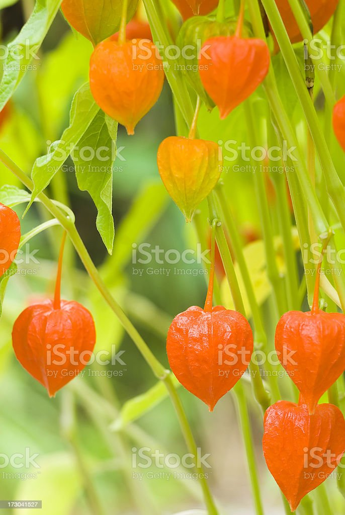 Chinese lantern plant - III royalty-free stock photo