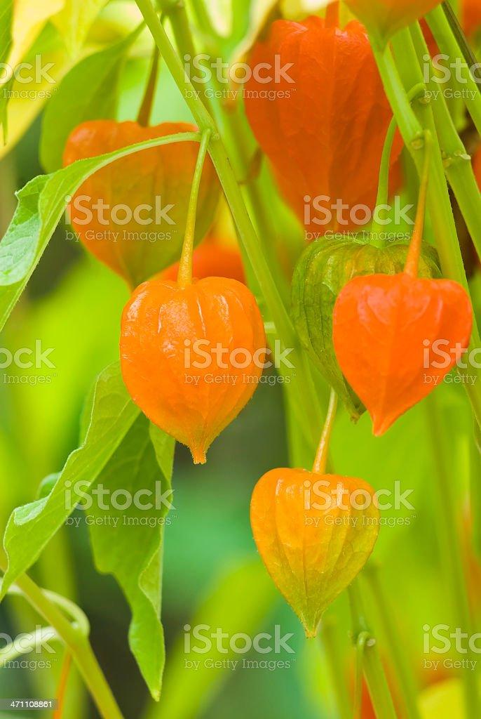 Chinese lantern plant - IV royalty-free stock photo