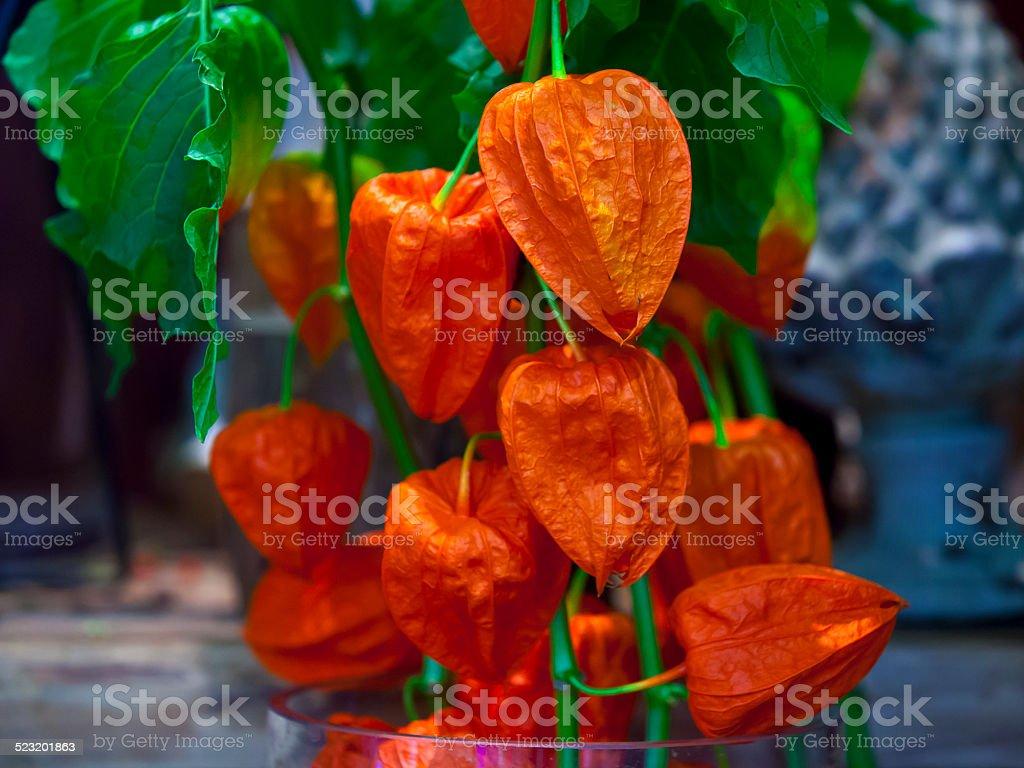 Chinese lantern plant stock photo