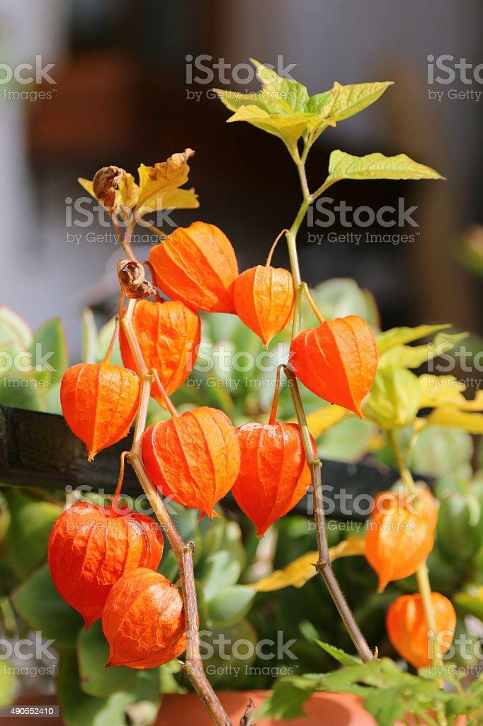 Chinese Lantern Plants (Physalis alkekengi) stock photo