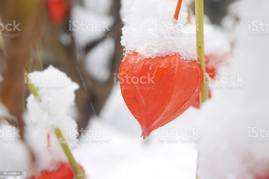 Chinese lanterns in the garden covered with snow stock photo
