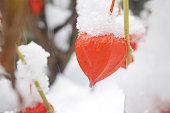 Chinese lanterns in the garden covered with snow