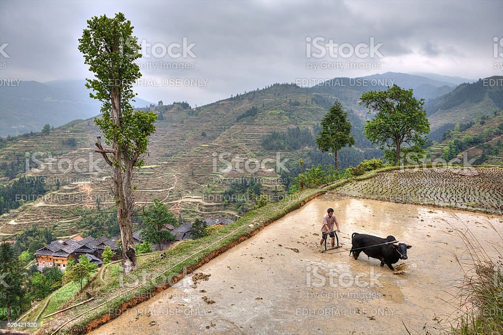 Chinese peasant with bull plowing flooded rice paddy. stock photo