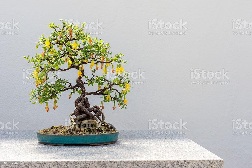 Chinese Peashrub Bonsai stock photo