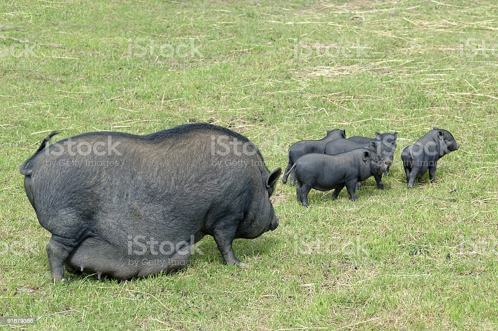 Chinese pig royalty-free stock photo