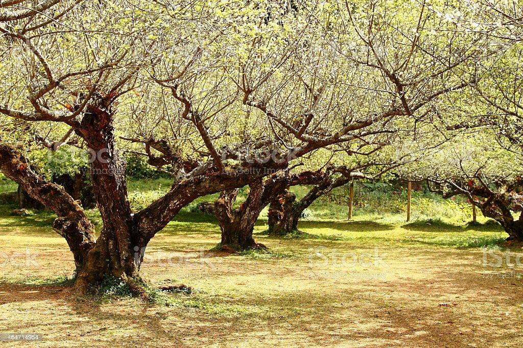 Chinese plum tree stock photo