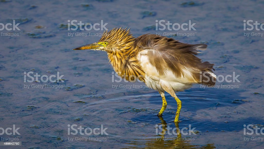 Chinese Pond Heron(Ardeola bacchus) stock photo