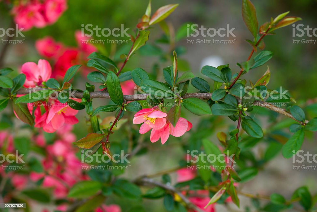 chinese quince flowers stock photo