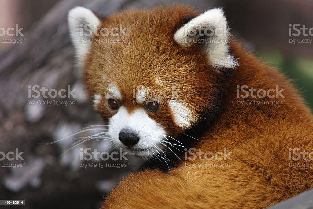 Chinese Red Panda royalty-free stock photo