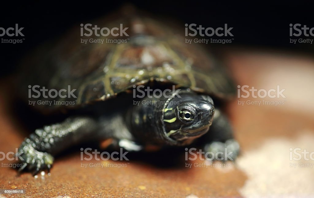Chinese red-necked pond turtle stock photo