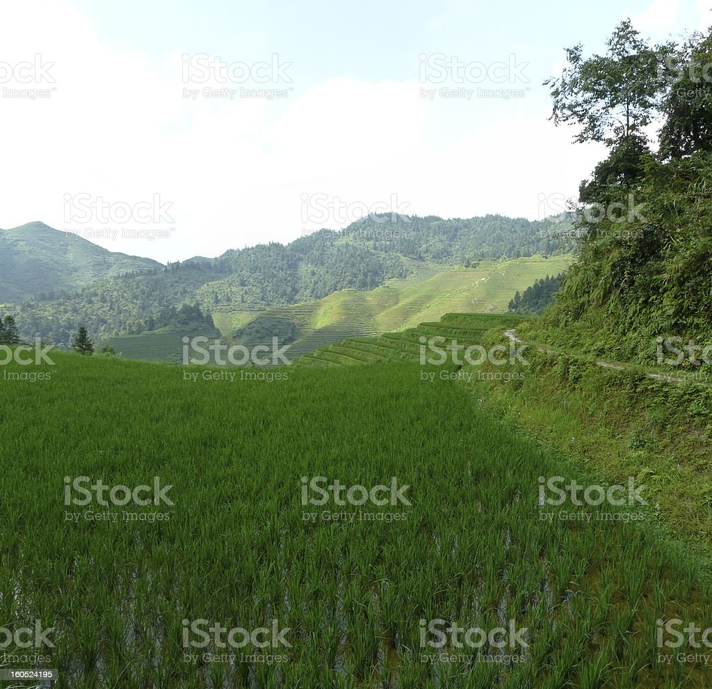 chinese rice field royalty-free stock photo