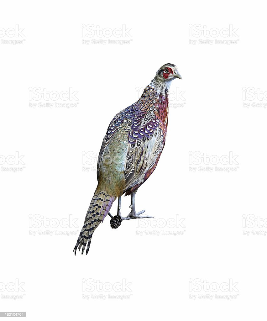 Chinese Ringneck Pheasant Rooster on white background royalty-free stock photo