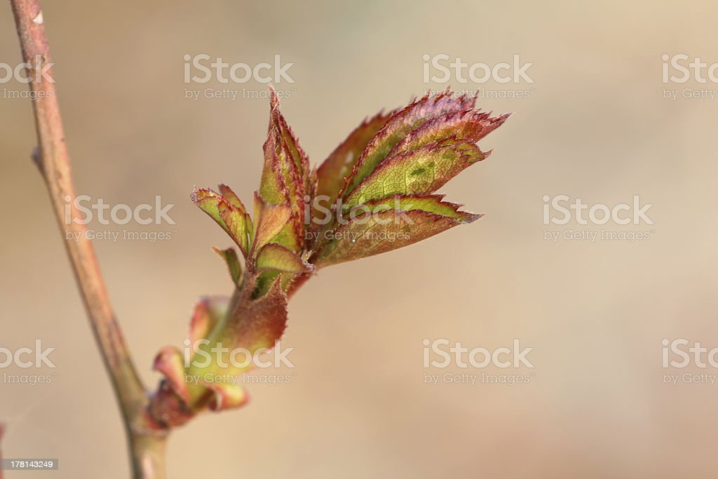 chinese rose buds royalty-free stock photo