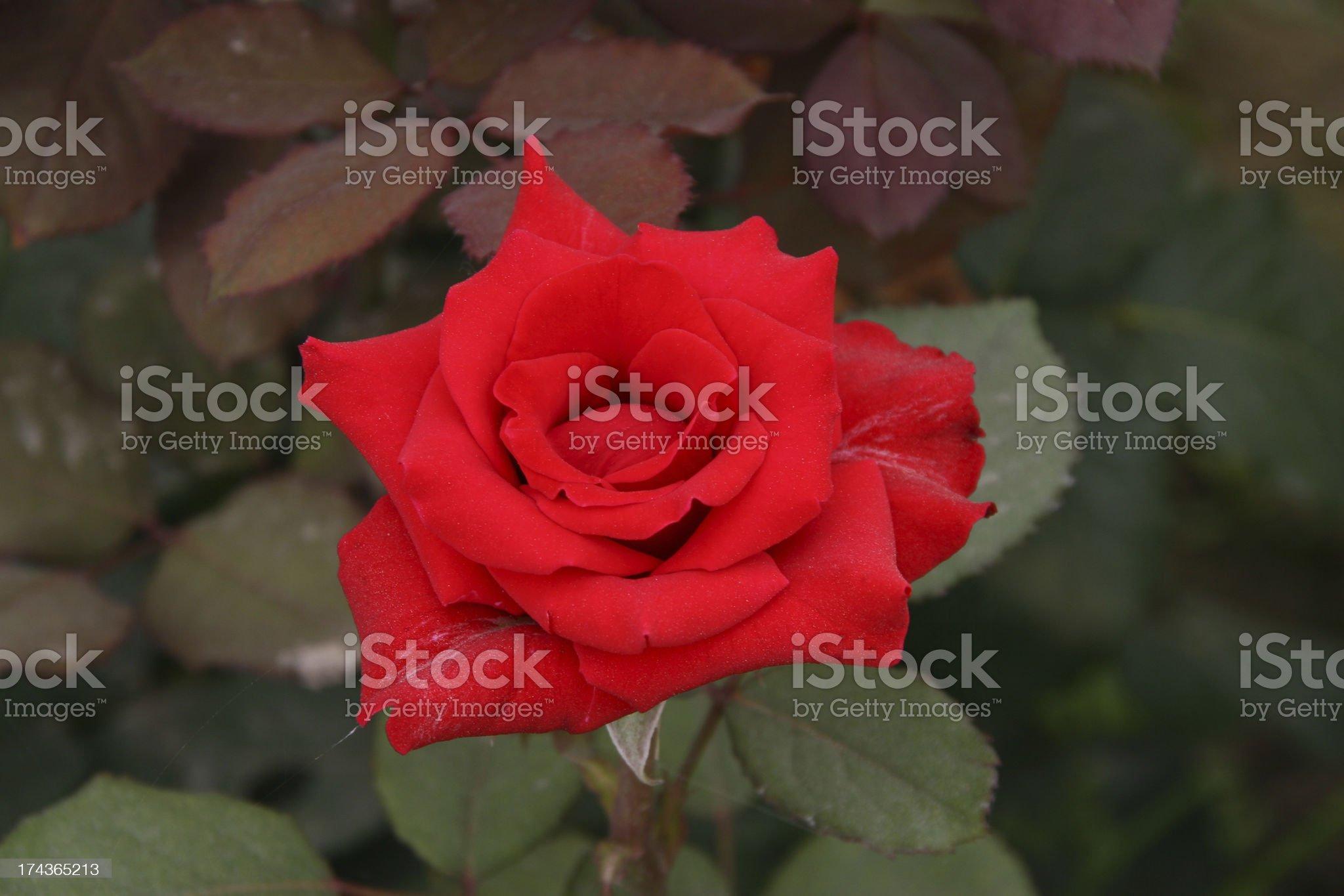chinese rose royalty-free stock photo