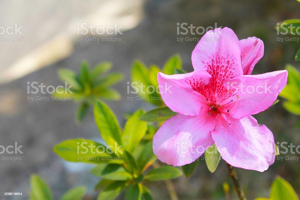 Chinese rose stock photo