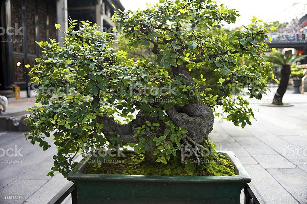Chinese style bonsai stock photo