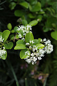 Chinese Tassel Tree - Chionanthus Retusus