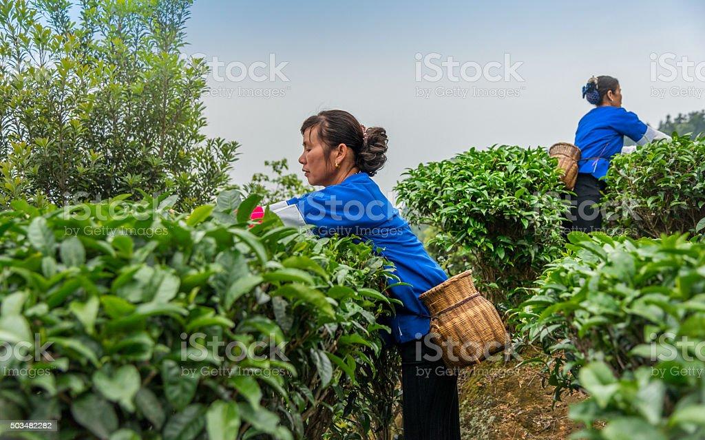 Chinese tea picker working stock photo