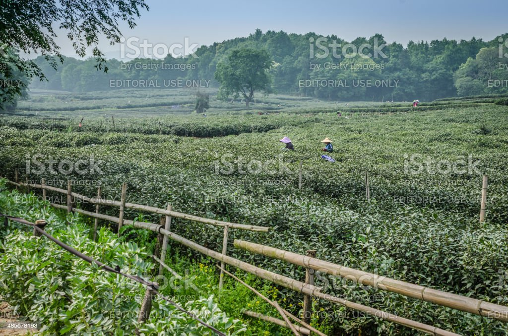 Chinese Tea Pickers of Hangzhou stock photo
