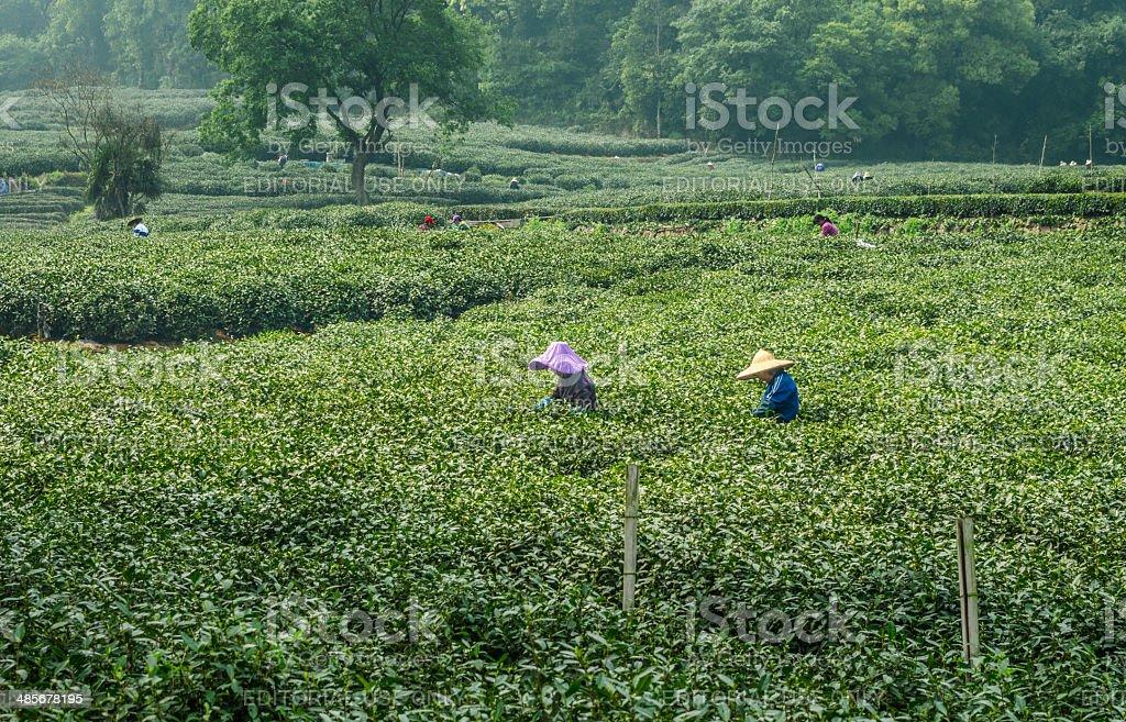 Chinese Tea Pickers of Hangzhou stock photo
