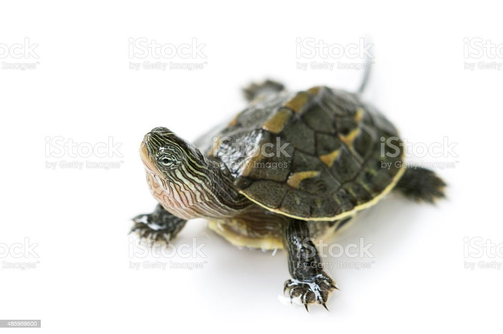 chinese turtle stock photo