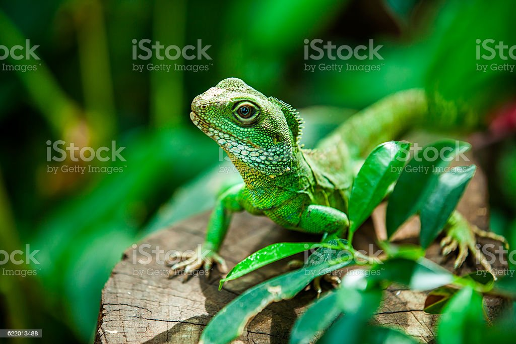 Chinese water dragon stock photo