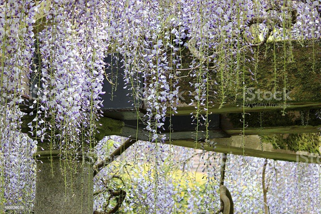 Chinese wisteria flowers (variety: wisteria floribunda) growing up garden pergola stock photo