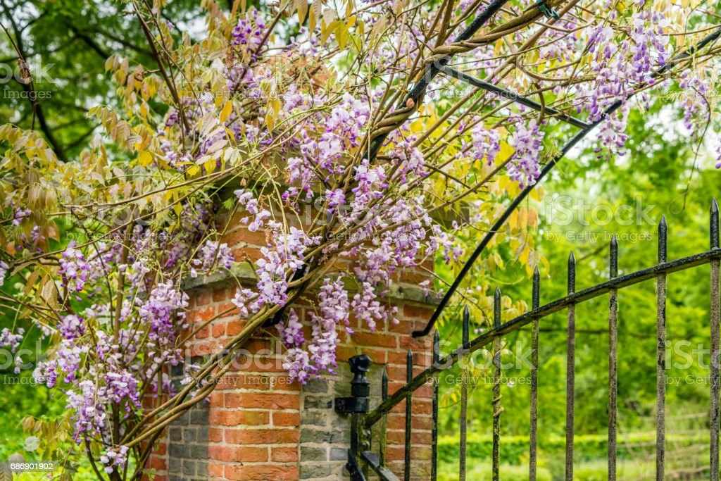 Chinese wisteria growing over a brick pillar and a wrought iron gate stock photo