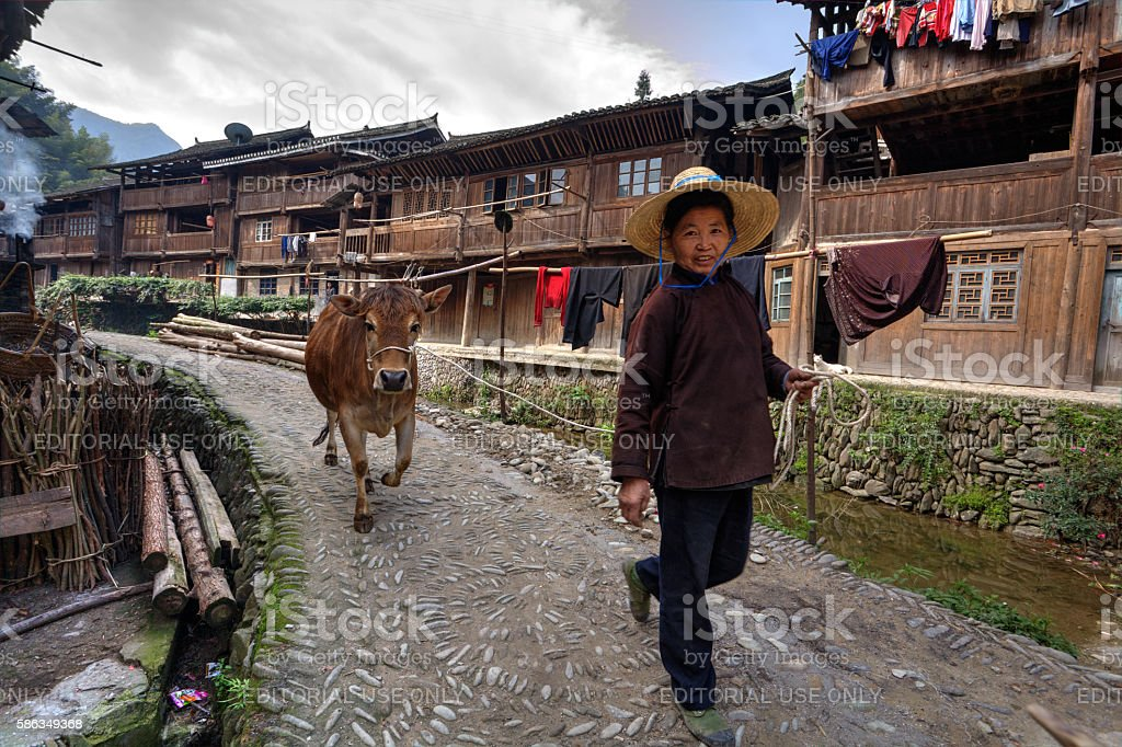 Chinese woman leads along village street brown cow, holding rope stock photo