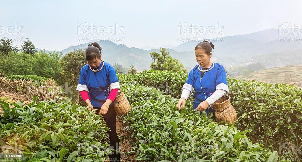 Chinese Women Harvesting Tea Cheng Yang Sanjiang Farming Teagarden China stock photo