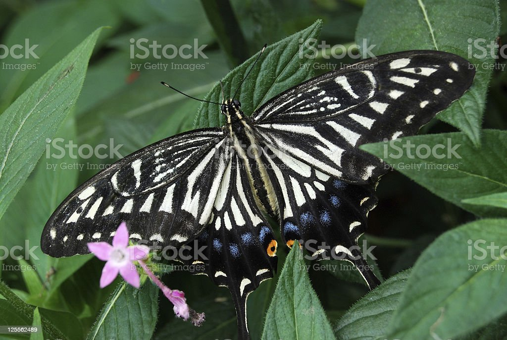 Chinese Yellow Swallowtail Butterfly on Pink Flowers stock photo