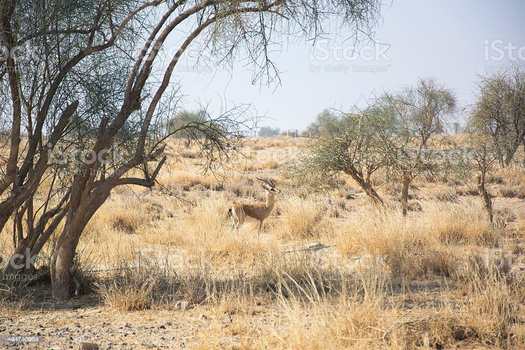 Chinkara, also known as the Indian Gazelle stock photo