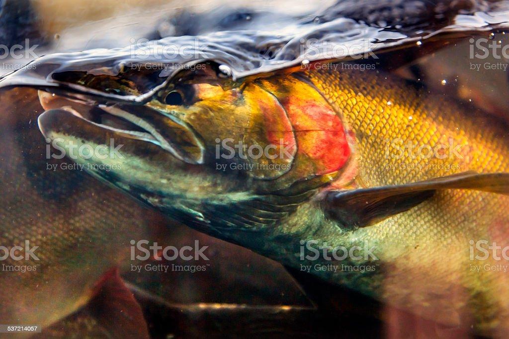 Chinook Coho Salmon Close Up Issaquah Hatchery Washington State stock photo