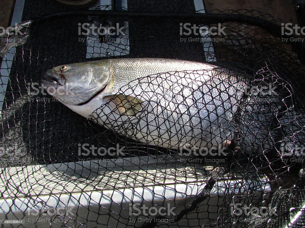 Chinook Salmon In A Net stock photo