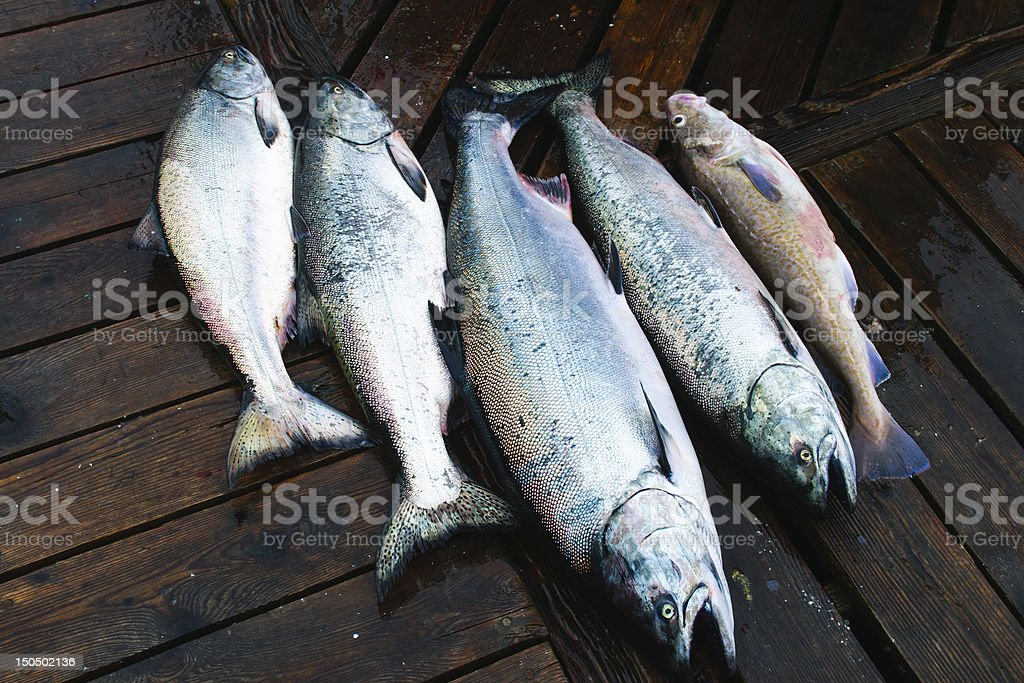 Chinook Salmon royalty-free stock photo