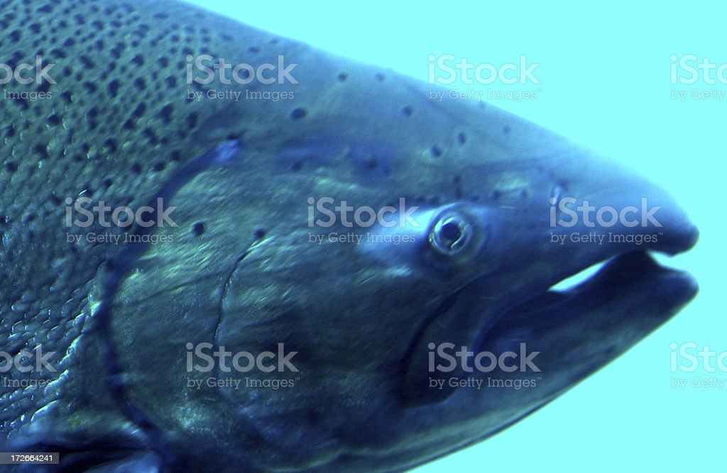 Chinook (KING) Salmon royalty-free stock photo