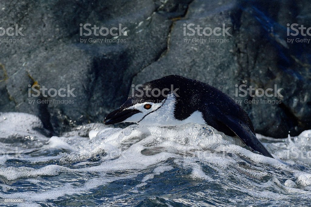 Chinstarp Penguin in the water stock photo