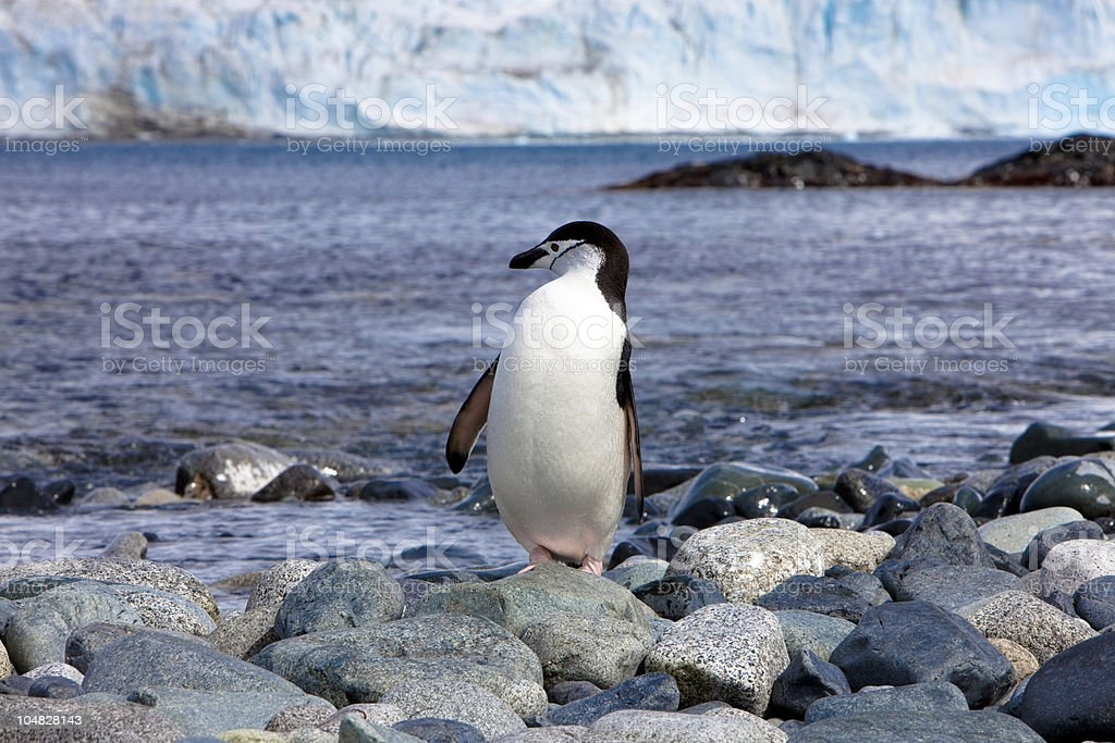 Chinstrap penguin Antarctica with Glacier stock photo