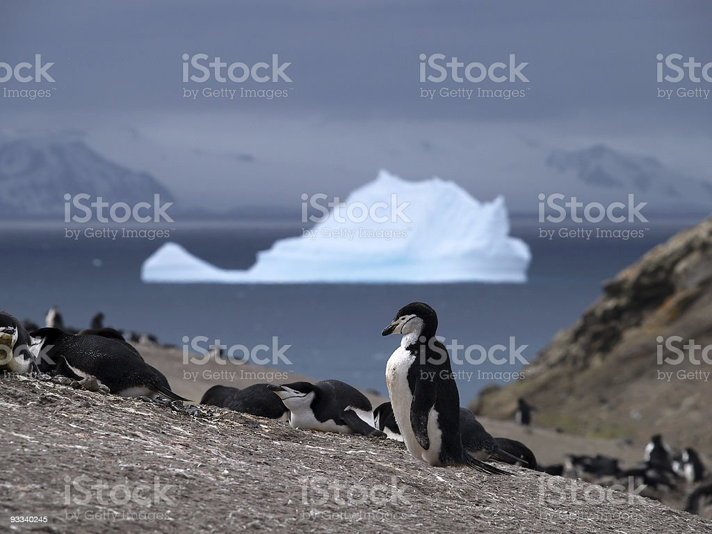 Chinstrap Penguin royalty-free stock photo