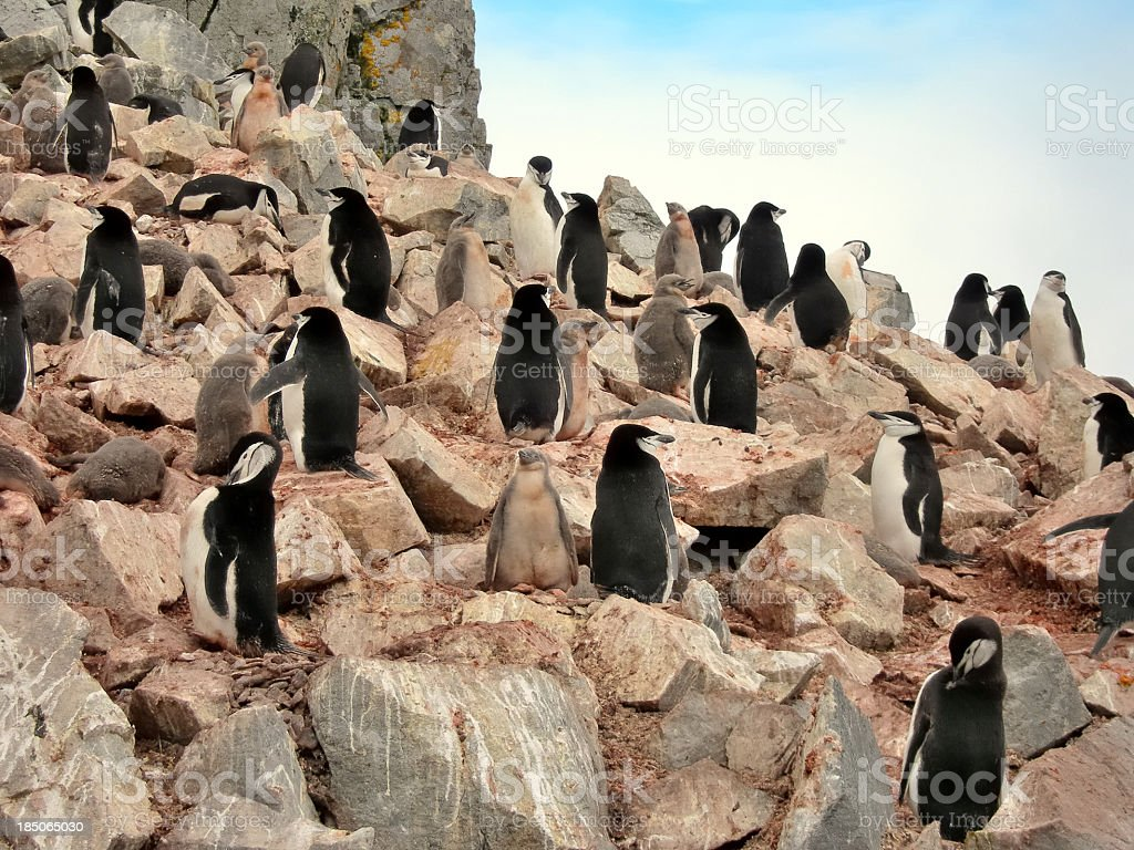 Chinstrap Penguin Rookery On Half Moon Island stock photo
