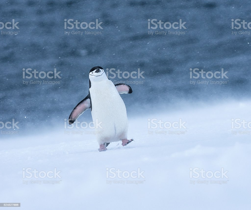 Chinstrap penguin walking in snow in Antarticta stock photo